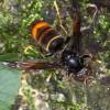 スズメバチに刺され2人死亡 いずれもショック死・・・・・
